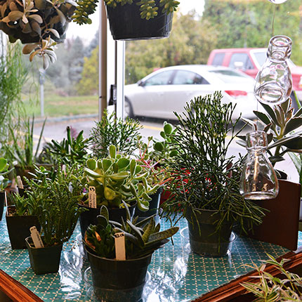 Succulent plants for sale at the greenery
